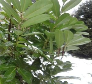 Kirschlorbeer